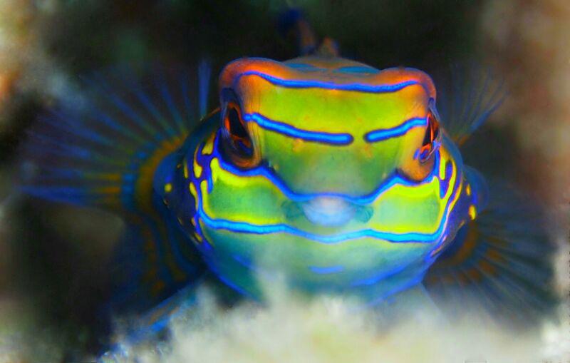 mandarin-fish-on-mandarin-dive-at-mabul-photo-credit-tracy-and-sam-from-taiwan