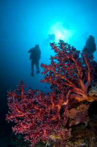 diver-sipadan-with-fan-coral