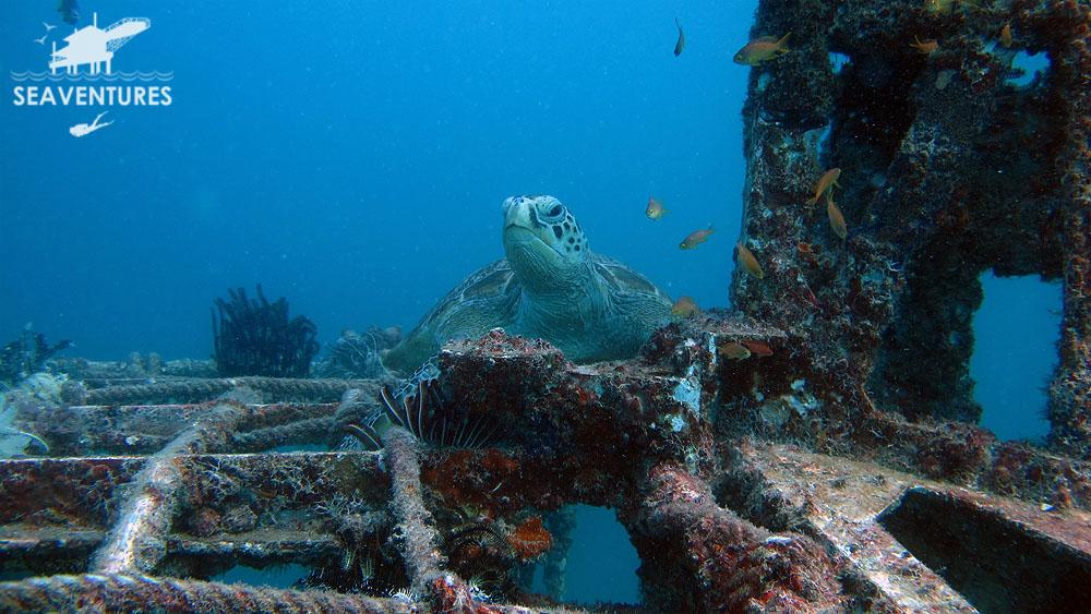 Sea Turtle Mabul Paradise Scuba Diving