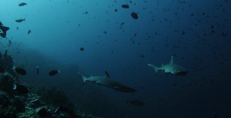 seaventures dive rig sharkweek sipadan scuba diving